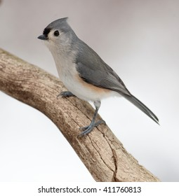 Tufted Titmouse (Baeolophus bicolor) Posing on a Natural Rotted Wood Perch