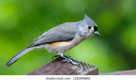 Tufted Titmouse bird the cutes in Kentucky Bird photography