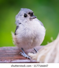 Tufted titmouse from Kentucky