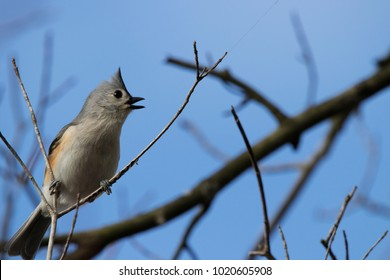 Tufted Titmouse on a Branch Against a Blue Sky