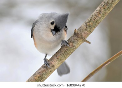 Tufted titmouse on a branch in Michigan