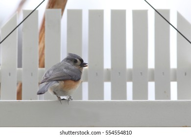 Tufted Titmouse on Eating Sunflower Seed - photograph of a Tufted Titmouse on the edge of a bird feeder with a sunflower seed in its mouth.  Selective focus on the bird.