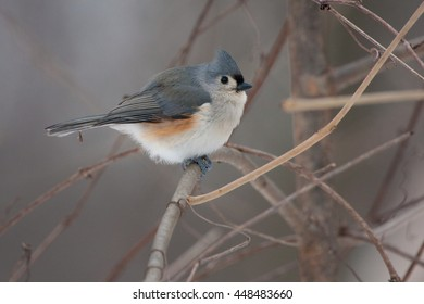 Tufted Titmouse on a Natural Perch