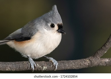 Tufted Titmouse Perched Delicately on a Slender Branch