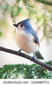 Tufted Titmouse perched on a tree limb