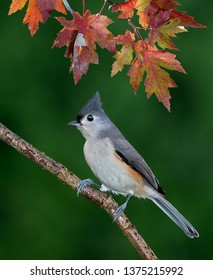 A tufted titmouse is sitting on a branch under colorful fall leaves.