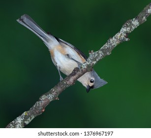 A tufted titmouse is sitting upside down on a branch.