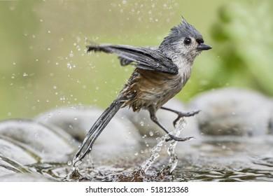 Tufted Titmouse Splashing in Birdbath