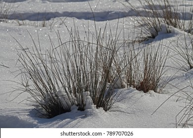 Tufts of grass in the snow