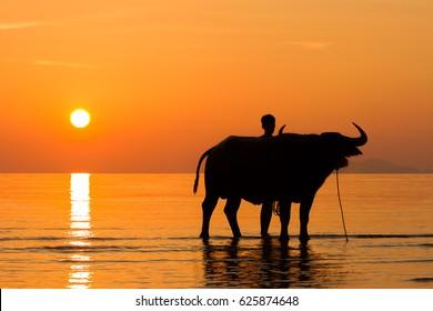 Tug Buffalo on the beach in ko samui thailand.