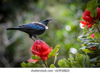 Tui bird on red flower