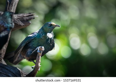 Tui bird sitting on tree stump on Tiritiri Matangi Island