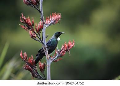 The tui (Prosthemadera novaeseelandiae) is an endemic passerine bird of New Zealand.