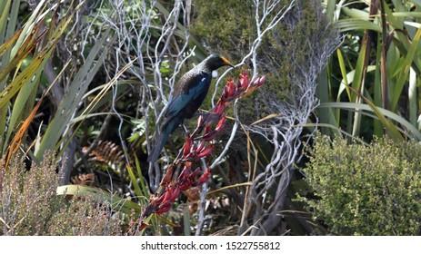 Tui Songbird sitting on a branch.