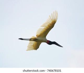 Tuiuiu bird flying free on Pantanal, Brazil.