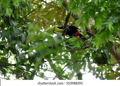 Tukan in Ancon Hill park, Panama city