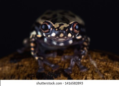 Tukeit hill frog (Allophryne ruthveni)