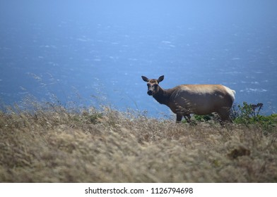 Tule Elk in California USA