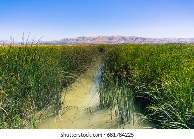 Tule reeds and cattail in the marsh restored at Alviso Marina County Park, San Jose, California