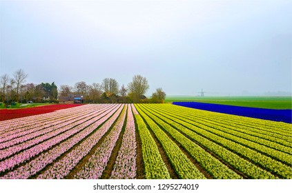 Tulip agriculture field landscape. Tulip fields Holland. Tulip fields in Netherlands. Colorful tulip field landscape