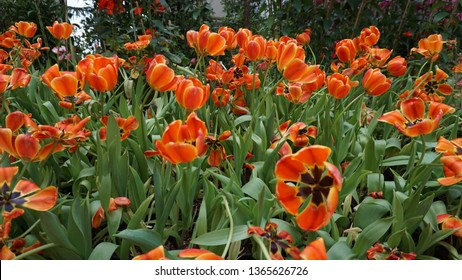 Tulip Apeldoorn Elite is a Darwin Hybrid variety that produces enormous orange and red blooms on long stems