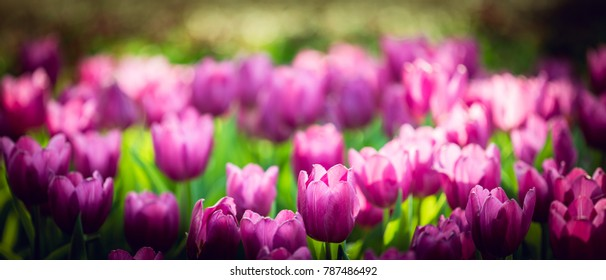 Tulip background. Purple flower tulip lit by sunlight. Soft selective focus