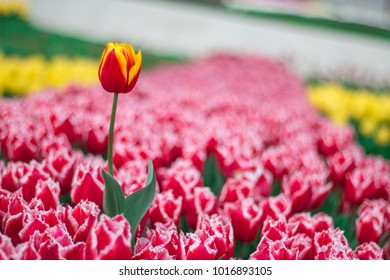 Tulip background. Red flower tulip lit by sunlight.