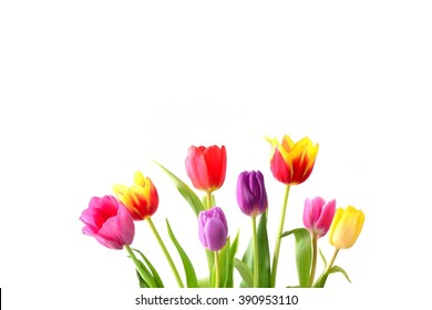 Tulip. Beautiful bouquet of spring flowers on white background. Holidays card.