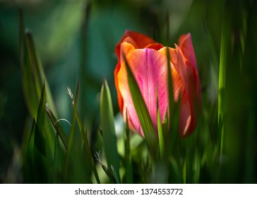 Tulip in a beautiful coloring