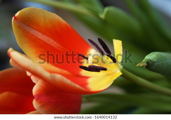 a tulip begins to wither and lose leaves