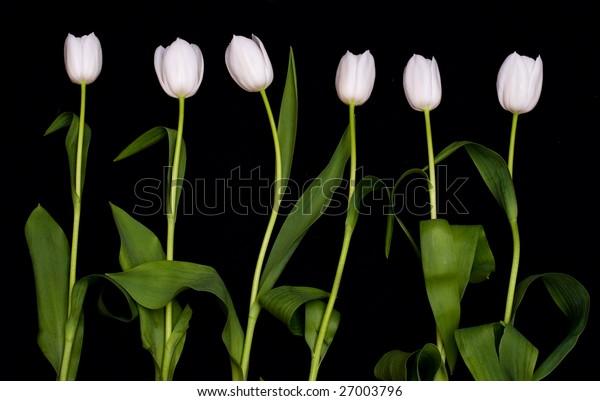 tulip and black