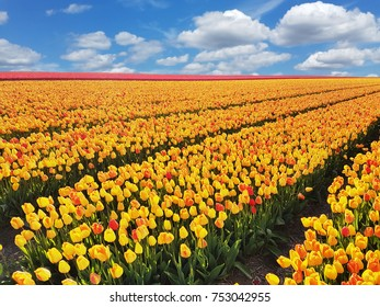 Tulip blossom up to the horizon