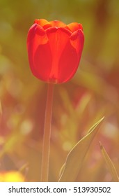tulip. a bulbous spring-flowering plant of the lily family, with boldly colored cup-shaped flowers.