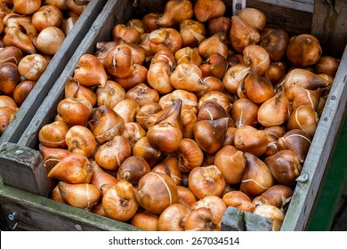 Tulip bulbs in Amsterdam in the flowers market