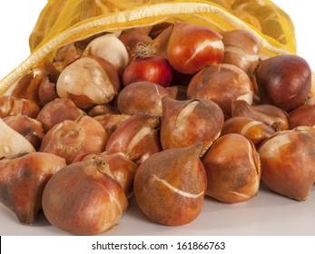 tulip bulbs in a bag