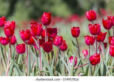 The Tulip is a classic flower of love.Tulip is a genus of single seed-lobe plants.Red tulips are the hue of choice to express that you are deeply in love. The color red evokes passion and romance