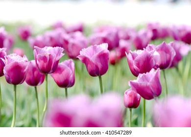 Tulip.  colorful tulips. tulips in spring.