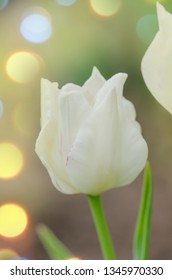 Tulip with coronet shape. Tulip with ruffled petals White Liberstar.  Crown or coronet tulip blooming