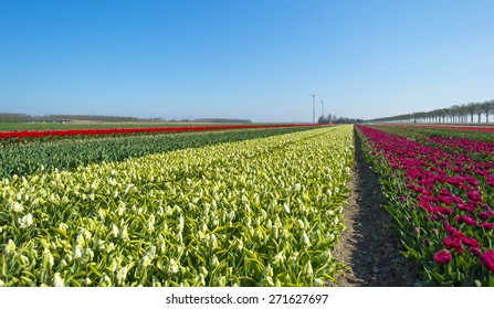Tulip cultivation in a sunny spring