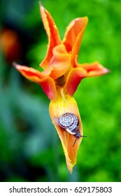 The tulip is a Eurasian and North African genus of perennial, bulbous plants in the lily family.A  rawling snail on the tulip
