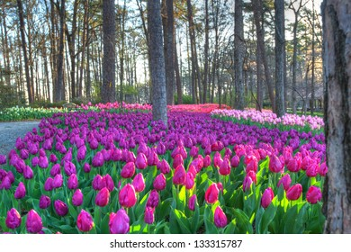 Tulip Extravaganza in early Spring. An Explosion of color.
