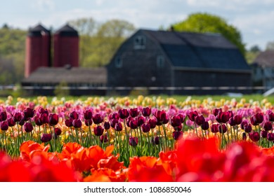 Tulip Farm in Johnston, Rhode Island. Shallow depth of field with focus on flowers in foreground.