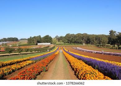 Tulip Festival, Melbourne Victoria