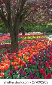 Tulip festival in Roozengaarde