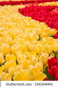 Tulip fieid, red and yellow flowers in Keukenhof garden, Netherlands, Holland