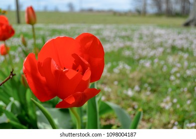 tulip in field