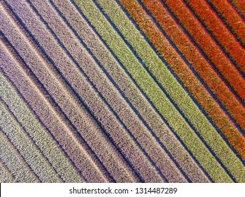 Tulip field from above. Aerial view of bulb-fields in springtime, located near Beilen, province of Drenthe, the Netherlands