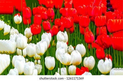 Tulip field close up. Red tulips and white tulips. Red and white tulips view