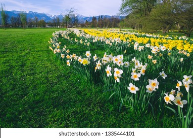 Tulip field and flowers daffodils in Arboretum, Slovenia, Europe.  Garden or nature park with Alps mountains on the background. Spring bloom
