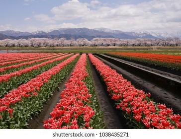 Tulip field landscape with sakura tree on the background